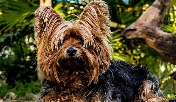 Best Dog Food For Yorkies Our Favorite Picks Stop That Dog