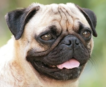 best food for pug puppies the best dog food for pugs stop that dog 9432