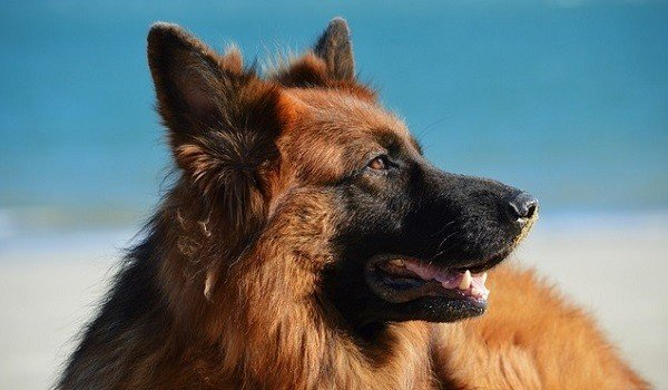 The Best Dog Food For German Shepherds Stop That Dog
