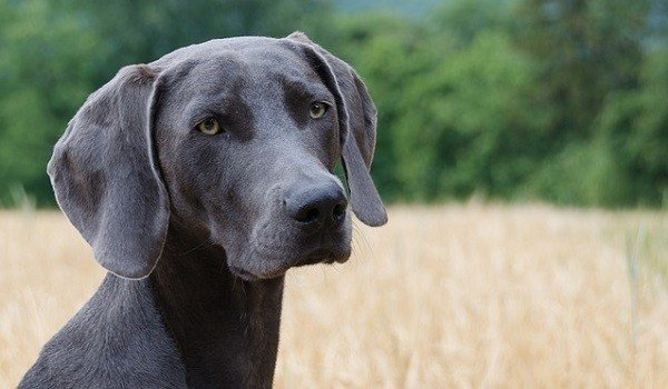 Best Dog Food For Weimaraners Here S Our Top Recommendations