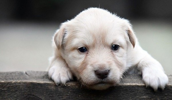 Best Dog Food For Lab Puppy With Sensitive Stomach