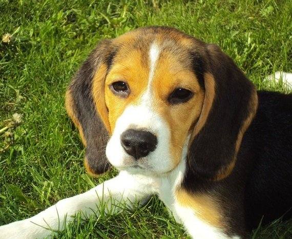 Best Dog Food For Beagles An Ultimate Guide Stop That Dog