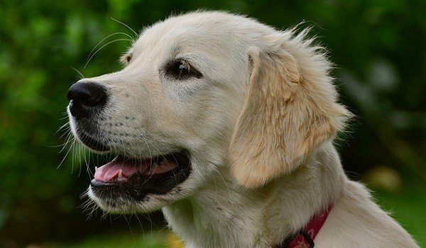 The Best Dog Food For Golden Retrievers Stop That Dog