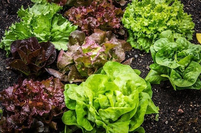 Can Dogs Eat Lettuce? Here's What You Should Know 3
