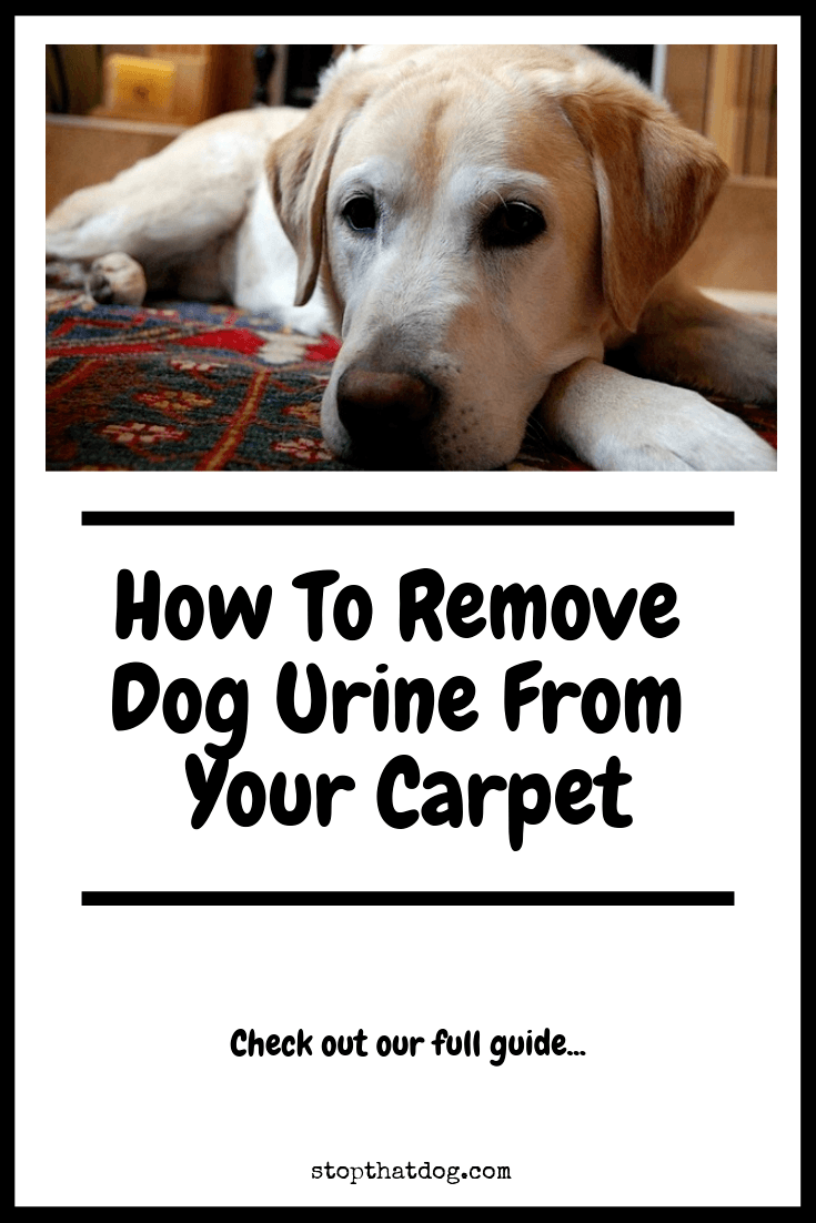 how to remove dog urine from carpet stop that dog. Black Bedroom Furniture Sets. Home Design Ideas