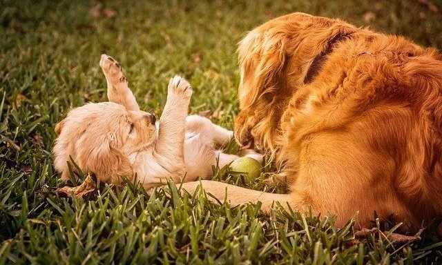 The Ultimate Golden Retriever Breed Guide - All Your Questions Answered 4